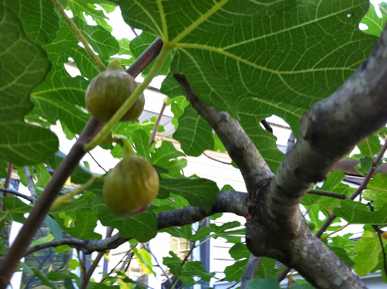 little_portion_friary_figs